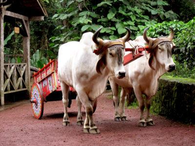 Chars à bœufs, Costa Rica