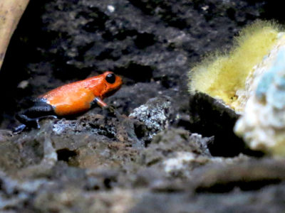 Grenouille au Costa Rica