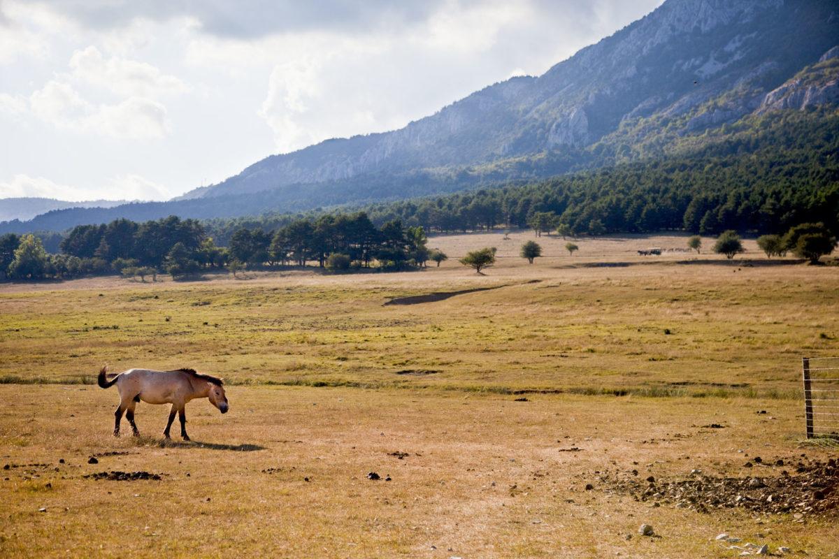 Dans la prairie, un cheval de Przewalski, Réserve animalière des Monts d'Azur, Alpes-maritimes. © Elodie Rothan