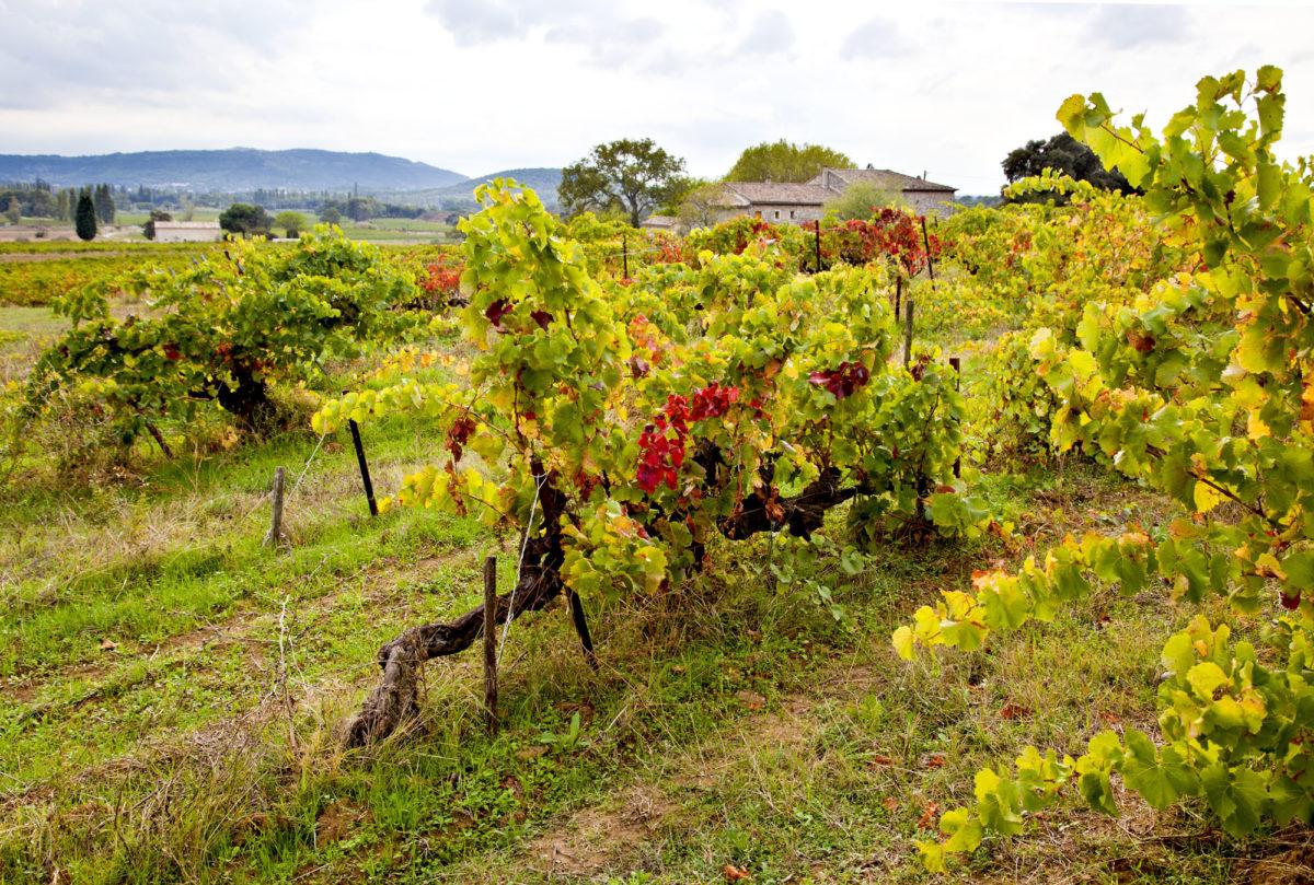 Vieilles vignes, Domaine Bonetto-Fabrol, appellation Grignan-les-Adhémar. © Elodie Rothan