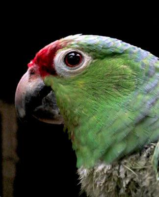 Ara au Costa Rica