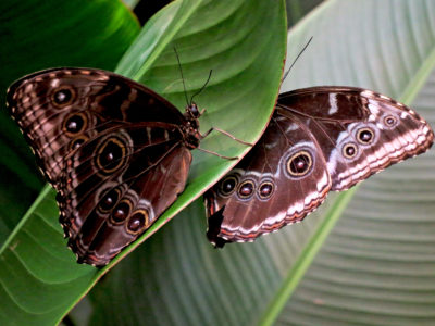 Papillon au Costa Rica